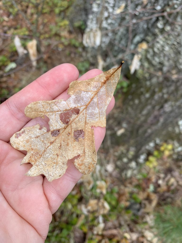 Decayed white oak leaf